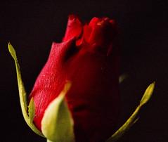 Red, Macro Mondays (camillagarin) Tags: red macromondays