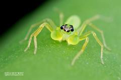 Jumping spider (Onomastus sp.) - DSC_6595 (nickybay) Tags: macro male spider jumping basin malaysia sabah salticidae maliau maliaubasin onomastus
