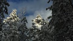 Snowy forest between Punjonsuo and Ruuhijrvi (Nuuksio national park, Espoo, 20160213) (RainoL) Tags: winter snow tree pine forest espoo finland geotagged nationalpark february fin nuuksio 2016 uusimaa nyland noux esbo nuuksionationalpark nuuksionkansallispuisto 201602 20160213 geo:lat=6030936257 geo:lon=2456594467