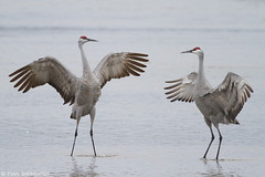 Sandhill Cranes Dancing (Evan Barrientos Photography) Tags: nature birds animals court dance nebraska unitedstates places northamerica reproduction sandhillcrane behaviors gruiformes gruidae studnicka tncproperties platteriverprairies performcourtshipdisplay