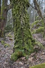 Virgin forest just outside the city (Sven Rudolf Jan) Tags: green forest gteborg moss sweden gothenburg skog trunk rekjrr