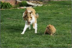 Amelia And Jemma, April 16, 2016 (Maggie Osterberg) Tags: dog cat collie nebraska lincoln fujifilm x20 maggieo roughcollie ameliapond colorefexpro4 jemmasimmons