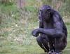 Chimpanzee 2016-04-06-0005 (BZD1) Tags: nature animal mammal natuur pan chimpanzee beeksebergen primates pantroglodytes chimpansee chordata synapsida hominidae commonchimpanzee hominini haplorhini