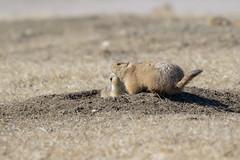 0A8A7860 (onegreatcity55) Tags: canada nature canon wildlife manitoba gimli assiniboinepark oakhammockmarsh lakewinnipeg ftwhyte