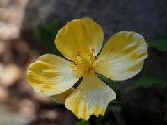 Wood Poppy (pilechko) Tags: flower color yellow bokeh pennsylvania newhope woodpoppy bowmanshill