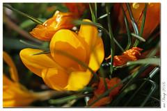 20160326_1002 (Mr.Vamp) Tags: flowers bunny nature sunshine garden easter spring natur blumen gifts heat bloom ostern sunrays garten geschenke sonnenstrahlen hase frhling blten sonnenschein blhen beautifulweather schneswetter wrme mrvamp berraschungosterhase surpriseeasterbunny