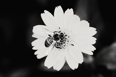 """find what you love and let it kill you"" (charles bukowski) (Rodrigo Alceu Dispor) Tags: bw flower macro love insect kill charles bee what fx find bukowski"