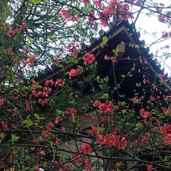 Boke (Chaenomeles speciosa) (s.itto) Tags: red march spring shrub chaenomeles rosaceae