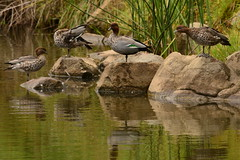 Wood Ducks (Luke6876) Tags: reflection bird animal duck wildlife woodduck australianwildlife australianwoodduck