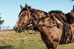 'Pra minha gua, a seu jeito..' (Suzana Fernandes Fotografia) Tags: horse rio caballo amigo grande cowboy do campo cavalo sul pampa campanha gaucho gua gacho tradio peon peo arreios coxilhas campeiro tupanciret