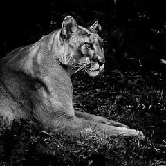 Florida panther (Pedro1742) Tags: fauna feline floridapanther