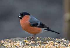 Bullfinch-1 (worlknut) Tags: birds wildlife flash bullfinch pennington