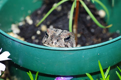 1107 ToadPot 1 Flickr (timmijo) Tags: amphibian toads pottedplant toad flowerpot bufonidae fowlerstoad toadface anaxyrus anaxyrusfowleri toadinpot