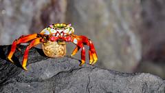 Sally lightfoot crab.jpg (ser_is_snarkish) Tags: animal ecuador crab galapagos sallylightfootcrab sancristbal puertobaquerizomoreno
