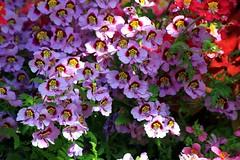 Mass of Colour (Heaven`s Gate (John)) Tags: pink england plants sunlight macro green nature gardens closeup botanical outdoors spring birmingham purple blossom mauve johndalkin heavensgatejohn