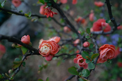 (Juan Paulo) Tags: japanese quince chaenomeles