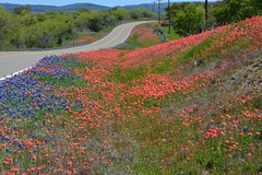 Celebrate (The Old Texan) Tags: texas wildflowers bluebonnets paintbrushes