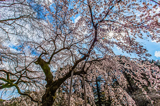 Sakura Feast 八重紅枝垂