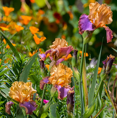 A Profusion of Iris (pictureted) Tags: iris nikon d500 200500vr