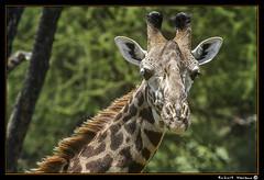 Tarangire 2016 02 (Havaux Photo) Tags: elephant robert rio river tanzania photo lion ostrich leon zebra antelope avestruz giraffe gazelle elefant antilope tarangire elefante riu gacela cebra estru jirafa lleo tarangirenationalpark antilop gasela havaux