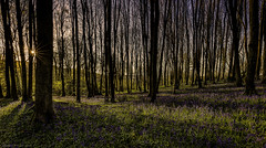 Strange things in the wood (MarkWaidson) Tags: wood trees bluebells sunrise sunburst oversley