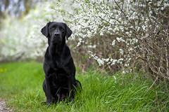 Maggie (laboheme82) Tags: dog labrador hund labbi