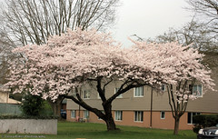 20160319_Akebno_12thAve-Bates03 (gerry.bates) Tags: street city pink trees urban flower spring flora blossoms sakura cherryblossoms 12thavenue 2016 residentialdistrict vancouvercherryblossomfestival akebonocherry prunusyedoensisakebono