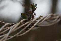 strategies of growing (*Elias*) Tags: strategie wachstum geissblatt wachsen