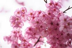 20160403-DSC_5316.jpg (d3_plus) Tags: sky plant flower macro nature rain japan walking nikon scenery waterdrop bokeh hiking drop daily rainy bloom   wildflower tamron  kanagawa   aftertherain dailyphoto    thesedays tamron90mm sagamihara   dogtoothviolet       shiroyama   erythroniumjaponicum   tamronmacro  tamronspaf90mmf28 tamronspaf90mmf28macro11 d700 172e  tamronspaf90mmf28macro nikond700  spaf90mmf28macro11 172en dogtoothvioletvillage