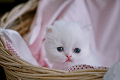Where is my mom ? (koolandgang) Tags: pet baby love animal cat persian kitten feline basket kitty indoor kedi babycat 22days pisipisi yavrukedi irankedisi 105vrmicro nikond700 kedici redpointhimalayan 22gnlk