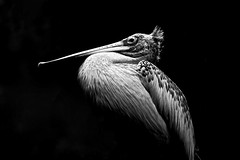 Ego (Anna Kwa) Tags: portrait bird art monochrome beauty ego nikon singapore pelican soul d750 always jurongbirdpark fairest spotbilledpelican pelecanusphilippensis greypelican willywilliam annakwa afsnikkor70200mmf28ge