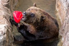 Grizzly Bear (marzipan bunny) Tags: bear arizona zoo tucson 7 april grizzly grizzlybear zooanimals 2016 reidparkzoo zoophotography