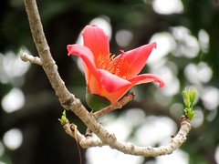orange light (oneroadlucky) Tags: orange plant flower nature  bombaxceiba
