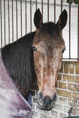Charlottenlund horse racing track (Nini Design) Tags: horses horse track racing april years hest r jubilum 125 charlottenlund 2016 aniversery heste travbane vddelb
