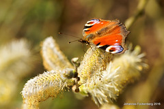 Royal Air Force (grafenhans) Tags: color butterfly sony alpha 700 tamron insekt farben schmetterling a700 alpha700 grafenwald 2870200