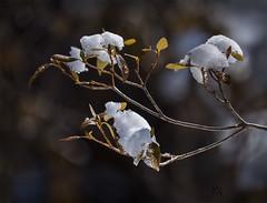 rhododendron snow caps (marianna armata) Tags: winter light sun snow cold macro spring bokeh radiant marianna armata hbw p2200607