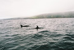 Bottlenose dolphins (Helena Costa.) Tags: miguel island nikon dolphin f65 são azores açores bottlenose n65