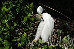 Great Egret Preening Its Breeding Feathers (Susan Roehl Thanks for 5.1 M Views) Tags: wildlife ngc panasonic greategret nesting breedingplumage 100300mmlens lumixdmcgh4 naplesfl2016 sueroehl