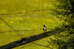 Locked Out! (patrickhale7173) Tags: bird nature fence outdoor wildlife arkansas northern barbwire mockingbird avian