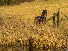 Please Don't Look At Me Like That (williamrandle) Tags: winter england cold water field animals fence reflections reeds landscape nikon sad outdoor pasture fields dudley serene ponies blackcountry 2016 netherton d7100 nethertoncanal tamron2470f28vc