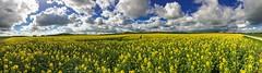 Rape Blossom Season (AHO66) Tags: panorama yellow clouds germany landscape cloudy pano himmel wolken rape fields iphone wolkig rapsfeld niedersachsen lowersaxony fieldofrape barrigsen