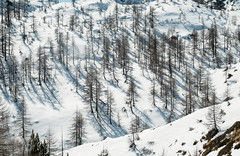 trees in the snow (lotti roberto) Tags: trees winter mountain snow mountains alps alberi neve inverno alpi montagna valdaosta ciaspole champorcher