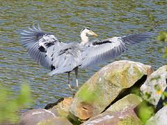 Hron Cendr - 9 (jocelynengi) Tags: heron nature grey lac jo ng hron cendr
