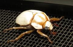 unknown scarab (Birdernaturalist) Tags: wings costarica coleoptera scarabaeidae richhoyer miscinvert