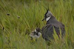 kievit met jong (Agnes Van Parijs) Tags: bird weide vanellusvanellus kievit vogel jong plevieren