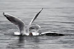 Black-headed Gulls fighting (Gidzy) Tags: nature birds moss spring fight natural none d gulls birding lancashire murder scrap drowning leighton drowned silverdale rspb spiring gifht birfings