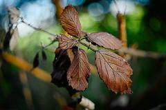 100% cuir ?... (vieubab) Tags: macro texture nature plante bokeh lumire branches extrieur flou feuille grosplan feuillage feuillesmortes matire branchage luminosit tonsbrun