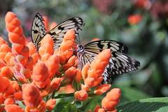 IMG_2447 (Mercar) Tags: canada butterfly garden botanical montreal go butterflies jardin free greenhouse botanic botaanikaaed qubeck