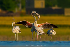 Greater flamingos (Irtiza Bukhari) Tags: pakistan red lake love nature water colors beauty sunrise hug flamingo ngc wwf bukhari natgeo irtiza glamingos