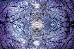 sakura (sinkdd) Tags: flower japan nikon pattern symmetry fisheye  cherryblossom sakura photomerge nikkor 16mm meguro d800 nikond800 affisheyenikkor16mmf28d